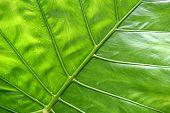 stock photo of elephant ear  - Big green tropical leaf background  - JPG