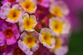 stock photo of lantana  - a cute pink lantana flower close up