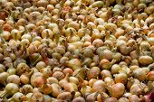 picture of root-crops  - Drying of the big crop of onions - JPG