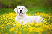 image of dandelion  - golden retriever dog posing on a dandelions field - JPG