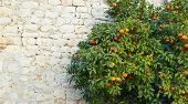 stock photo of tangerine-tree  - tangerine tree against the old city wall - JPG