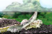 picture of water animal  - Image amphibian exotic animal Chelidae in water - JPG