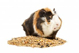 stock photo of pig  - Portrait of a guinea pig on a pile of grain isolated on white background - JPG