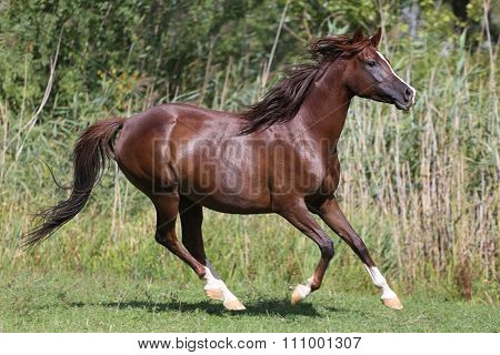 Arabian Breed Horse Canter On Natural Background Summertime