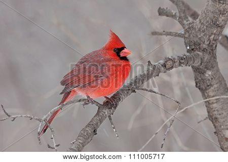 Fluffed Cardinal