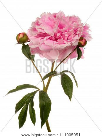 Pink Peony With Two Buttons