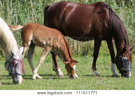 Beautiful Young Arabian Mare And Her Foal Grazing On Pasture