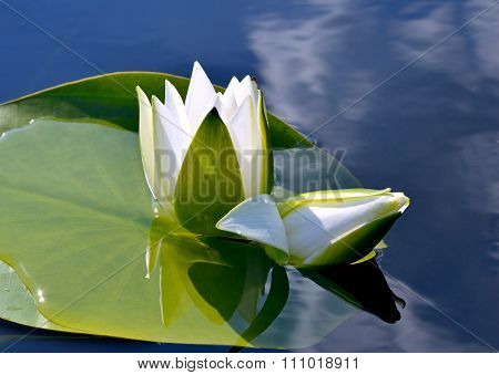 Water Lily On The Lake