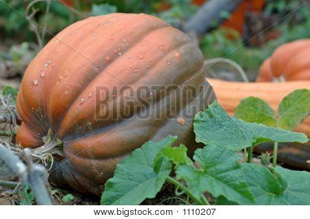 Pumpkin Waiting For Hallowe'En