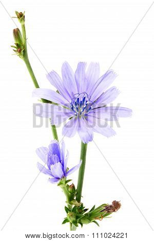 Branch With Blooming Chicory;flowers Chicory.