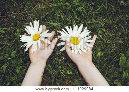 Hands Holding A Large White Daisies.