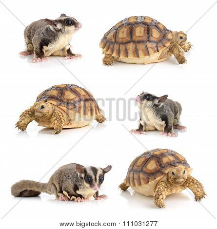 Turtle And Sugar Glider On White Background