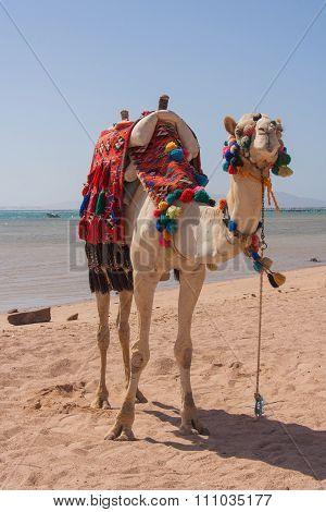 Egyptian Camel On The Beach.