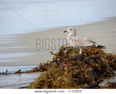 Seagull On Kelp