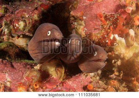White-eyed Moray Eels