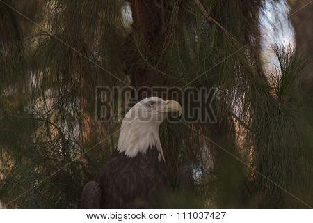 Southern Bald Eagle, Haliaeetus leucocephalus