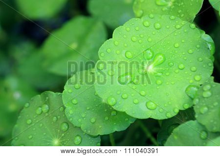 Water drop on Water Pennywort