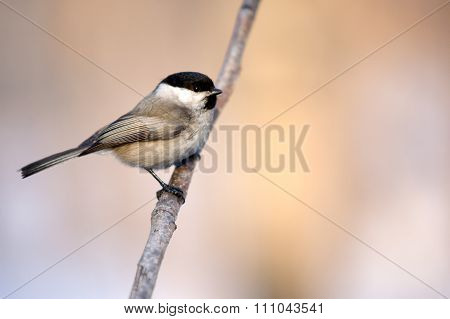 Tit on a branch, Parus major.