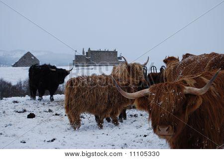 Vacas das terras altas