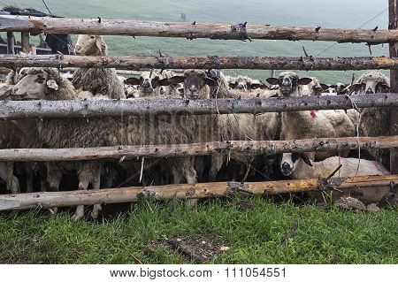 Sheeps Behind Fence