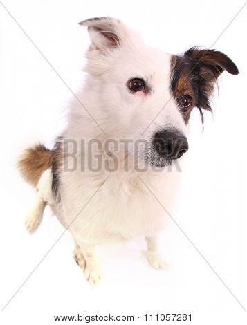 mongrel dog on white