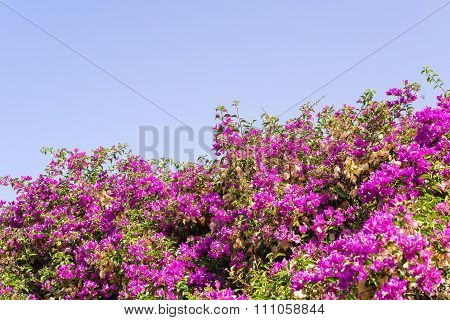 Bushes With Small Bright Flowers Of Crimson Color
