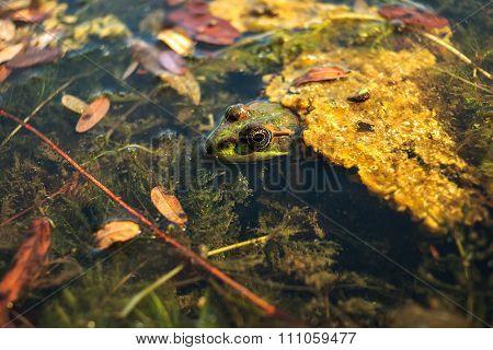 Frog  In The Lake Among The Seaweed, Looks