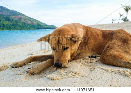Local Dog Sleeping On The Beach
