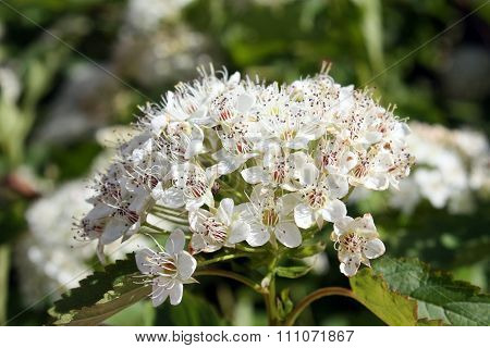 White Flower Of Pyracantha