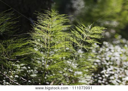 Horsetail plants in the backlight
