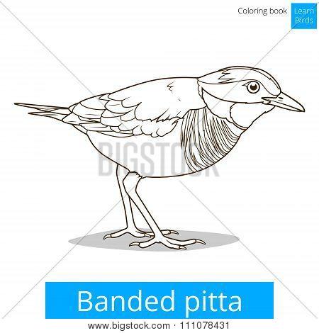 Banded pitta bird learn birds coloring book vector