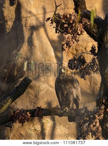 Birds Of Prey - Aquila Pomarina - Lesser Spotted Eagle
