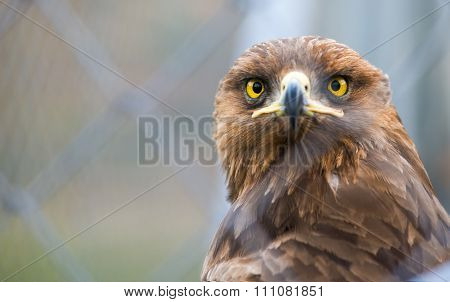 Birds Of Prey - Captive Aquila Pomarina - Lesser Spotted Eagle
