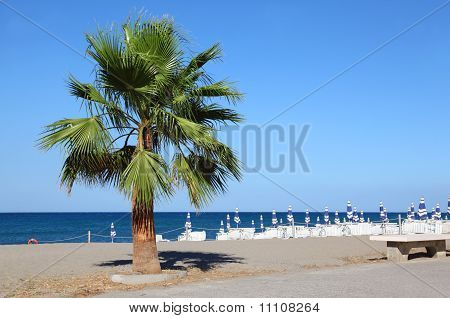 Big Beautiful Green Palm Tree Growing At Seashore. Striped Beach Umbrellas And Sunbeds