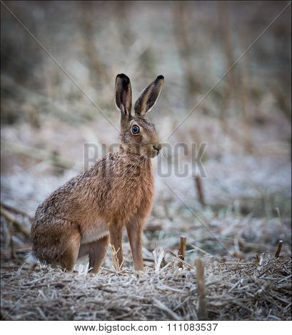 Alert hare sitting in a cropped field on a frosty morning