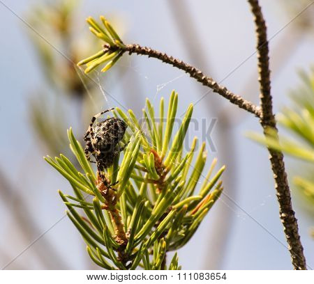 Spider On A Branch Of Spruce