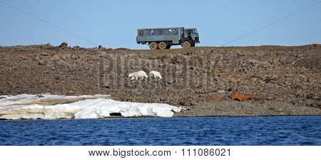 FRANZ JOSEF LAND, RUSSIAN FEDERATION - JULY 19, 2015 Polar bear survival in Arctic is a complex problem: conflict with people, pollution problems, global warming