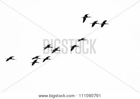 Flock Of White-faced Ibis Flying On A White Background
