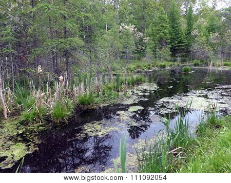 Northern Michigan Swamp