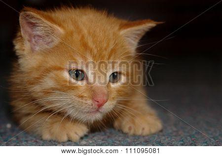Ginger Kitten Is Having A Rest.
