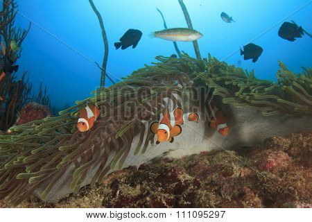 Clownfish Anemonefish Nemo fish in sea