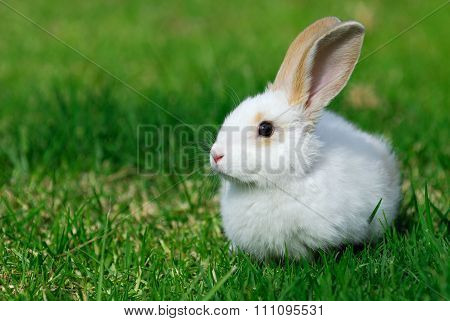White Rabbit On The Grass.
