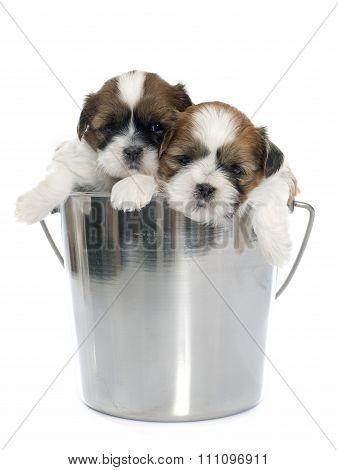 Young Puppies Shitzu