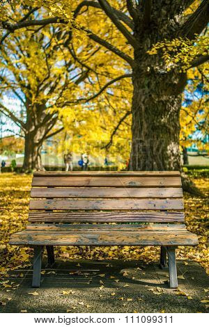 Bench in park with Autumn yellow Ginkgo (biloba) trees on background.
