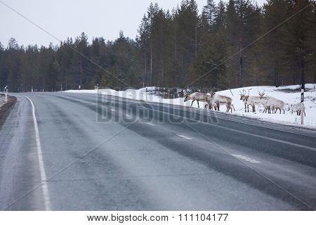 Reindeer flock in the way at road