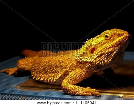 Yellow lizard