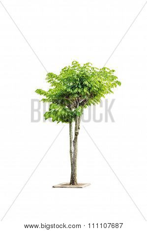 Clipping Path Isolated Medium Size Fresh Bush Tree