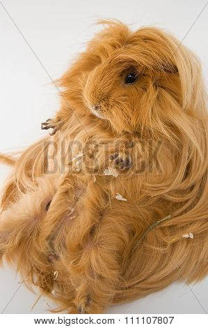 Guinea Pig Breed Sheltie..