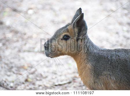 Patagonian Hare (mara).