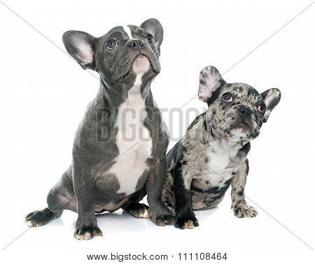 Puppies French Bulldog